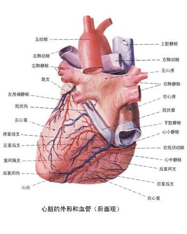 带你认识人体心脏结构图